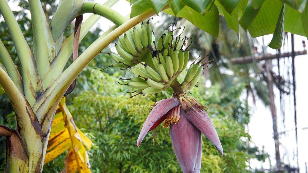 банан растет Таиланд
