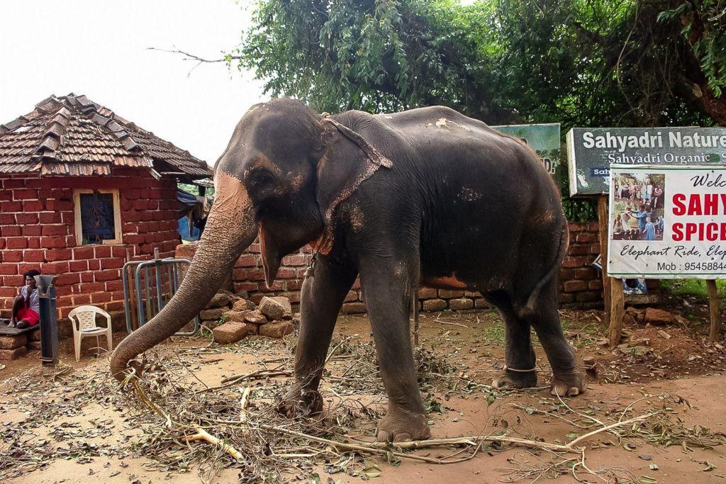 Dudhsagar, waterfall, Indian elephant, monkey, feed the animals, индийский слон, обезьяны, покормить животных, кормим слона, душ на слоне, дикие обезьяны едят с рук, водопад, Индия, Гоа, Дудхсагар, дудсагар , джунгли, экскурсия, Гоа