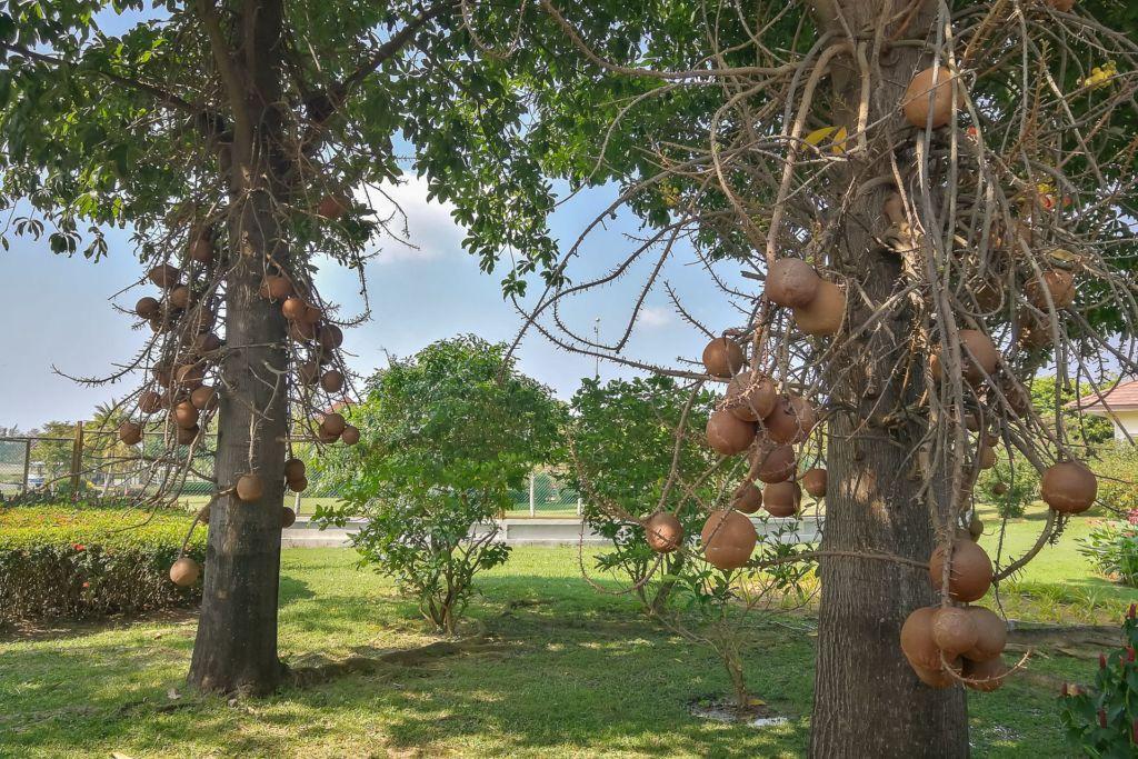 Курупита гвианская, Couroupita guianensis, дерево пушечных ядер, пушечное дерево, пучечные ядра, Азия, природа, дерево, цветок, цветение, необычные плоды, Самуи, природа