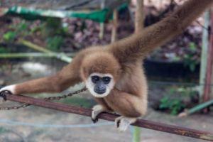 Samui Monkey Center, monkey show, monkey, Samui, манки шоу, манки шоу на Самуи, куда сходить на Самуи, Самуи развлечения для детей, театр обезьян на Самуи, шоу с животными на Самуи, Липа ной Самуи, представление с обезьянами,