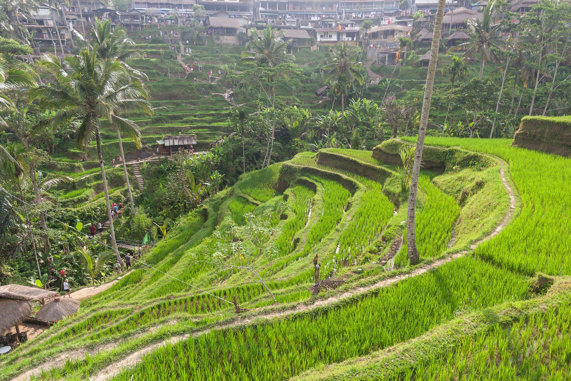 Бали, Bali, Indonesia, Индонезия, rise terraces, rise terraces Bali, Тегаллаланг, Tegallalang, достопримечательности Бали, что посмотреть на Бали, Убуд что посмотреть, природа на Бали, как выращивают рис на Бали, место для фотосессий на Бали, инстаграм фото Бали, качели в джунглях Бали, качели на Бали, качели на пальмах Бали, сувениры с Бали, развлечения на Бали