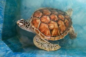 Mahamodara Sea Turtle Hatchery Centre, srilanka, srilanka turtle, Unawatuna turtle, центр спасения черепах Шри-Ланка, где увидеть черепах на Шри-Ланке, черпеахи на Шри-Ланке, Унаватуна развлечения, Унаватуна экскурсии, что посмотреть рядом с Унаватуной, Галле Шри-Ланка что посмотреть, дикая природа Шри-ланка, животные на Шри-Ланке, морские черепахи, защита животных, защита животных на Шри-Ланке, черепаховая ферма на Шри-Ланке, инкубатор черепах на Шри-Ланке,