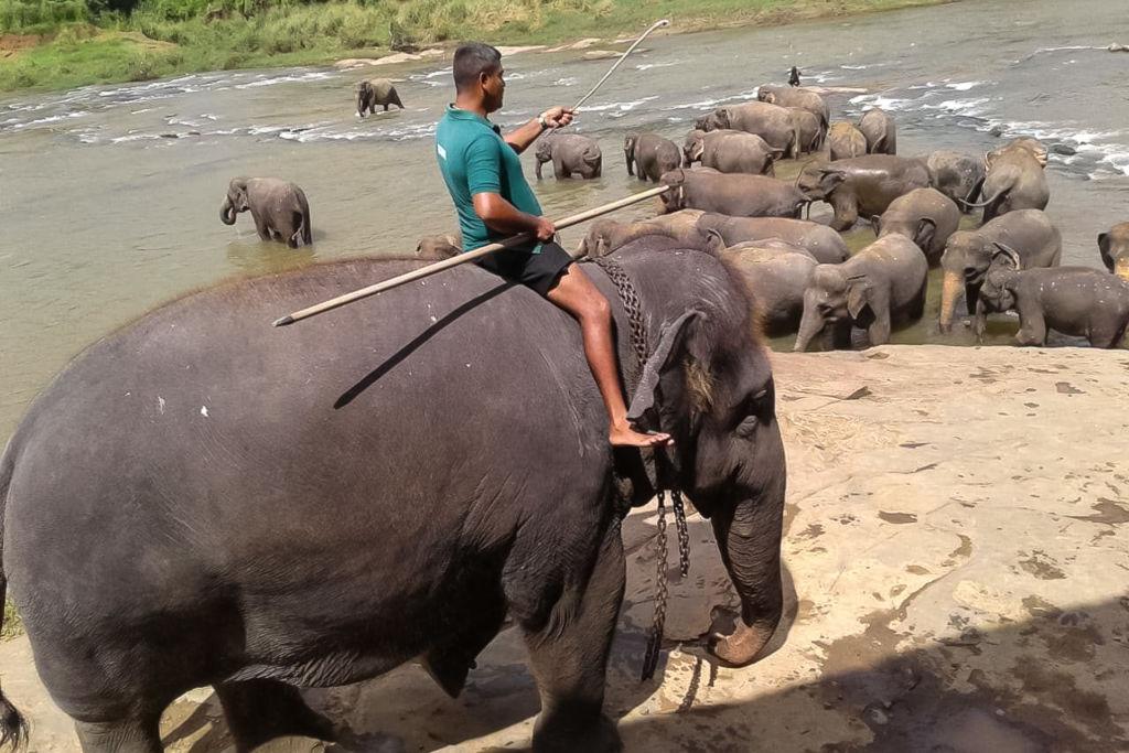 Elephant Orphanage Pinnawala, слоны на Шри-Ланке, питомник слонов Шри-Ланка, где посмотреть слонов на Шри-Ланке, покупать слонов на Шри-Ланке, купание слонов на Шри-Ланке, покормить слонов на Шри-Ланке