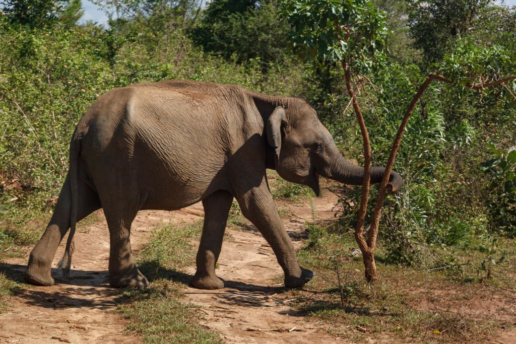 Удавалаве, национальный парк Удавалаве, слоны на Шри-Ланке, питомник слонов Шри-Ланка, где посмотреть слонов на Шри-Ланке, покупать слонов на Шри-Ланке, купание слонов на Шри-Ланке, покормить слонов на Шри-Ланке, Udawalawe